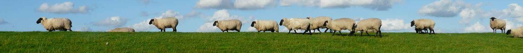 sheep-flock-of-sheep-series-standing-on-85683.jpeg